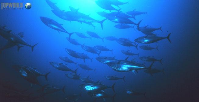 金枪鱼,空运进口,进口生鲜,生鲜,特普沃德